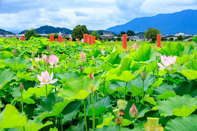 奈良県橿原市の藤原宮跡